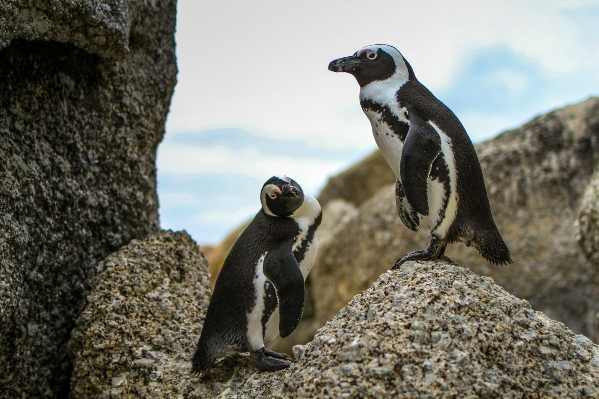 penguins south africa